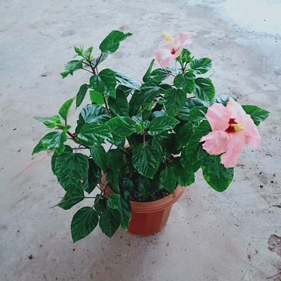 广东省广州市荔湾区朱槿  大红花230盆 发物流运费到付