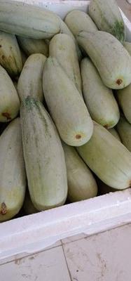 山东省临沂市蒙阴县羊角蜜甜瓜 0.5斤以上