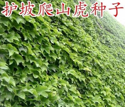 山东省济宁市梁山县爬山虎 1公分以下 1米以下