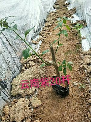 福建省漳州市龙海市紫花三角梅 0.2米以下