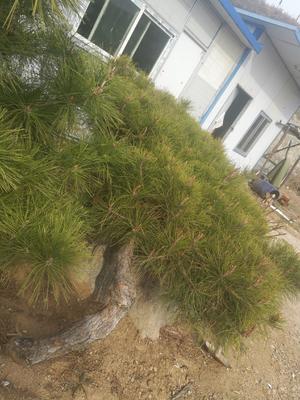 山东省淄博市沂源县造型松 1~1.5米