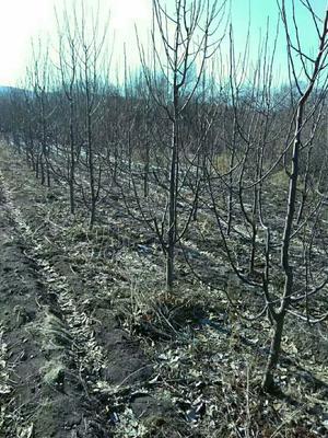 这是一张关于南水梨树苗 1.5~2米 的产品图片