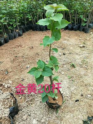 福建省漳州市龙海市加州黄金三角梅 0.2米以下