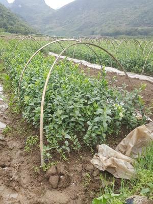这是一张关于早熟沙糖桔苗 嫁接苗 0.35~0.5米 的产品图片