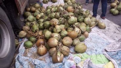 河北省石家庄市鹿泉区金椰子 6斤以上