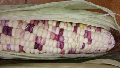 这是一张关于糯玉米 带壳 甜糯 的产品图片