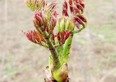 这是一张关于刺嫩芽种子 的产品图片