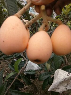 四川省攀枝花市米易县大五星枇杷 0.7 - 1两