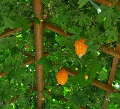 安徽省池州市东至县山葡萄 0.4-0.6斤 5%以下 1次果
