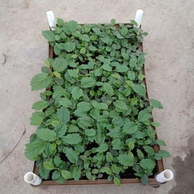 广东省广州市荔湾区多花黄花风铃木 种苗3-8公分左右高