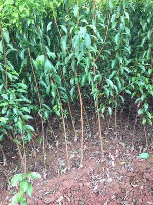 这是一张关于蜂糖李苗 的产品图片