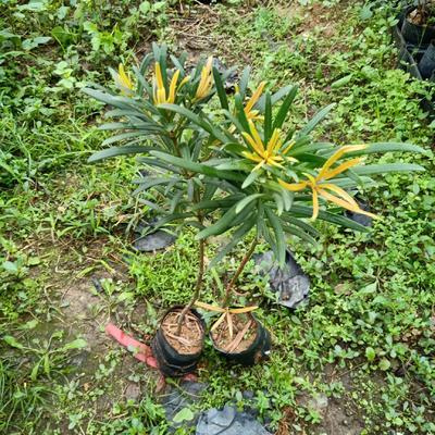 广东省广州市荔湾区海岛罗汉松  红芽罗汉松苗 30公分左右高