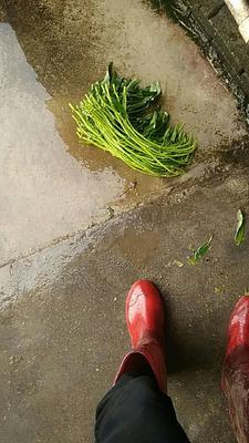 广西壮族自治区玉林市博白县博白空心菜 60cm