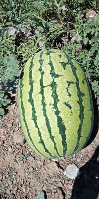 宁夏回族自治区中卫市沙坡头区硒砂瓜 15斤打底 9成熟 1茬 有籽