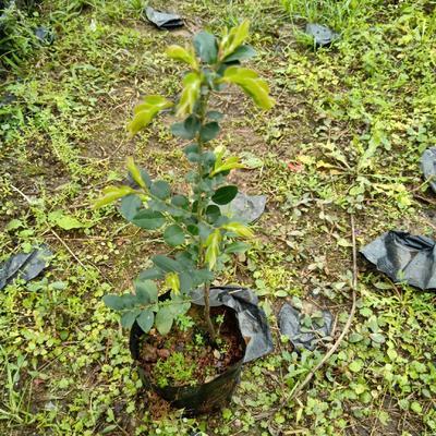 广东省广州市荔湾区小叶紫檀盆栽  黑骨檀15-30公分左右高