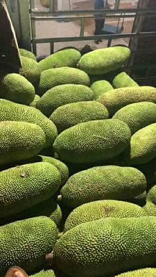海南省海南省昌江黎族自治县海南菠萝蜜 15斤以上