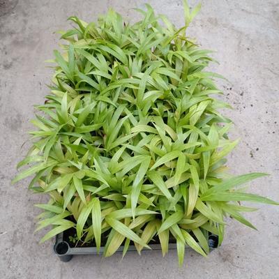 广东省广州市荔湾区槟榔  假槟榔种苗10公分左右高