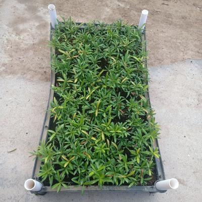 广东省广州市荔湾区海岛罗汉松  红芽罗汉松种苗5-10公分左右