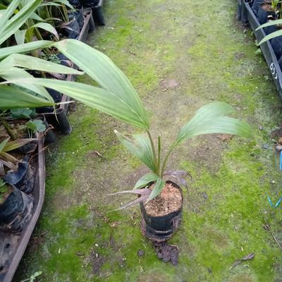 广东省广州市荔湾区造型假槟榔树 假槟榔袋苗30公分左右高