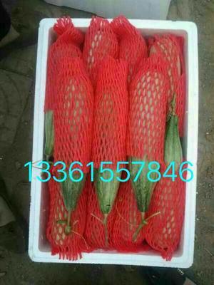 山东省潍坊市寒亭区羊角脆甜瓜 1斤以上