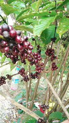 海南省海南省万宁市越南咖啡豆