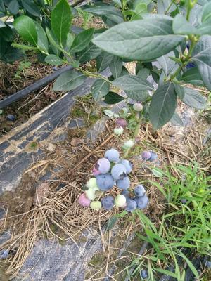 江苏省无锡市宜兴市奥尼尔蓝莓 10 - 12mm以上 鲜果