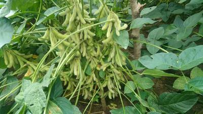 河南省商丘市永城市黄豆种子 原种 ≥99.9% ≥99% ≤7%