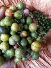 这是一张关于黄精种子 90%以上 的产品图片