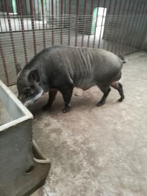 这是一张关于特种野猪 统货 30-40斤 的产品图片