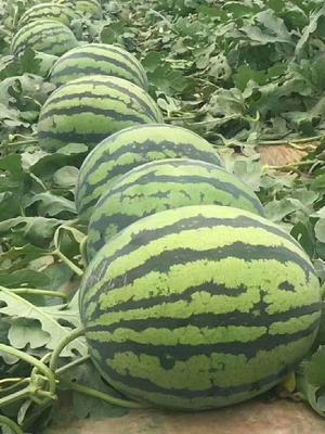 山东省潍坊市奎文区甜王西瓜 10斤打底 9成熟 1茬 有籽