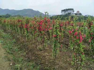 广西壮族自治区钦州市灵山县中国红樱 1~1.5米 4公分以下
