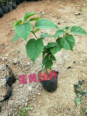 福建省漳州市龙海市黄花三角梅 0.2~0.5米