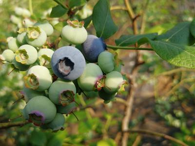 辽宁省大连市金州区北陆蓝莓 10 - 12mm以上 鲜果