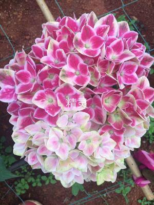 云南省昆明市呈贡区蓝边八仙花