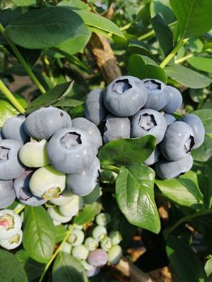 辽宁省大连市庄河市绿宝石蓝莓 15mm以上 鲜果