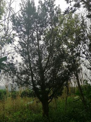 广西壮族自治区桂林市荔浦县小叶罗汉松