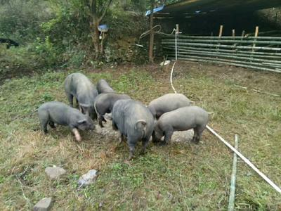 广东省清远市清新区黑山猪 公 120斤以上