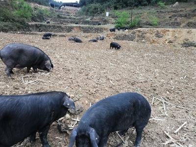 四川省泸州市古蔺县黑土猪 200-300斤