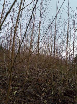 这是一张关于山毛桃树苗 0.5~1米 的产品图片