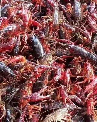 这是一张关于鄱阳湖清水小龙虾 7-9钱 稻田虾 的产品图片