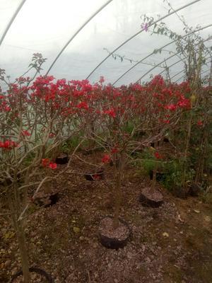四川省宜宾市翠屏区大红三角梅 1.0~1.5米