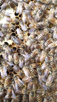 这是一张关于中蜂  中蜂蜂王的产品图片