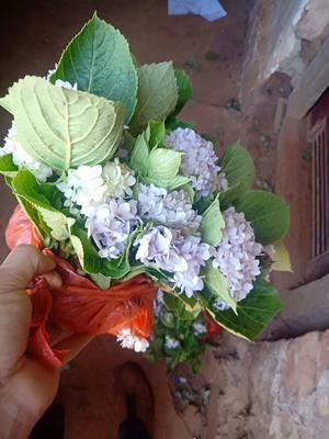 云南省昆明市呈贡区德国八仙花
