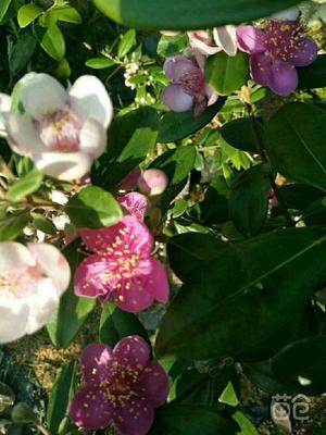 这是一张关于桃金娘苗 0.5米以下 的产品图片
