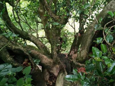 这是一张关于古树红茶 一级 散装 的产品图片