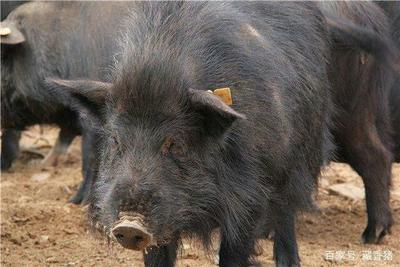 内蒙古自治区兴安盟扎赉特旗藏香猪 100斤以上