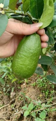 广西壮族自治区玉林市玉州区香水柠檬 1.6 - 2两