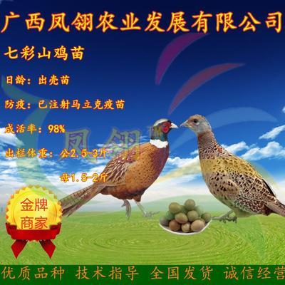 这是一张关于山鸡苗 的产品图片