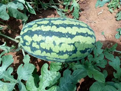 这是一张关于丘比特西瓜 6斤打底 8成熟 1茬 有籽 的产品图片