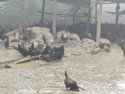 贵州省黔东南苗族侗族自治州凯里市乌骨土鸡 2-3斤